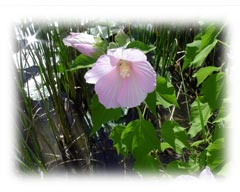 Swamp Rose Mallow Plant Wildflower